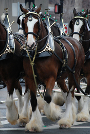 The Budweiser Clydesdales at the 2008 South Boston St. Patrick's Day Parade.
