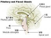 Illu pituitary pineal glands ja