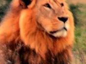 A lion being used to represent Aslan Русский: Не Аслан, но похож