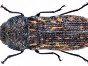 Acmaeodera cisti Wollaston, 1862