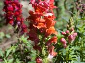 English: Antirrhinum majus growing in San Antonio, Texas.