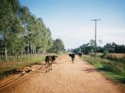 Cattle block a dirt road in Paraguay.