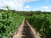 Pinot noir vineyard in the Willamette Valley wine region of Eola-Amity Hills. Also shows an example of clear (or bare soil) cultivation between the vines and rows with no cover crops.