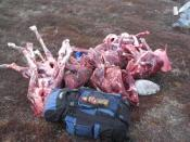 Reindeer meat (six animals) from hunt. Greenland