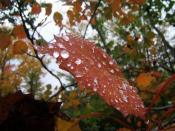 English: Water droplets beading atop a blazing red autumn leaf. As winter approaches, deciduous trees draw in the nutrients from their foliage, mostly of which is green chlorophyll. Left behind are the brilliantly coloured leaves which the trees will shed