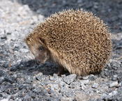 English: West European Hedgehog (Erinaceus europaeus). Suomi: Siili (Erinaceus europaeus).