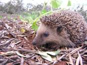 A young Hedgehog (Erinaceus europaeus). Esperanto: Juna eŭropa erinaco (Erinaceus europaeus). Español: Un erizo joven (Erinaceus europaeus). Français : Un jeune hérisson (Erinaceus europaeus).