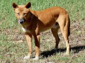 English: Wild Dingo (Canis lupus dingo) at Mungo Brush, Myall Lakes National Park, Australia. Deutsch: Wilder Dingo (Canis lupus dingo) bei Mungo Brush, Myall Lakes Nationalpark, Australien.
