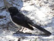 English: Willie Wagtail (Rhipidura leucophrys) near Mungo Brush, Myall Lakes National Park, Australia. Deutsch: Gartenfächerschwanz (Rhipidura leucophrys) bei Mungo Brush, Myall Lakes National Park, Australien.