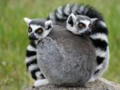 English: Ring-Tailed Lemurs at the Oakland Zoo.
