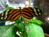 English: Isabella Longwing, Eueides isabella