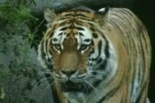 Picture of an Amur tiger in Helsinki Zoo. Suomi: Siperiantiikeri Korkeasaaren eläintarhassa
