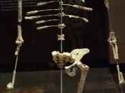 Full replica of Lucy's (Australopithecus afarensis) skeleton in the Museo Nacional de Antropología at Mexico City.