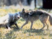 English: Coyote (canis latrans) with typical throat hold on domestic lamb