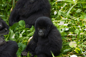 English: Baby Mountain Gorilla in Virunga National Park