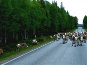 English: Reindeer blocking the road in Kuusamo, Finland Suomi: Poroja tiellä Kuusamossa
