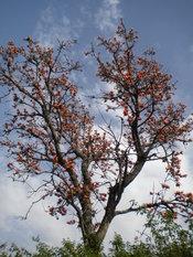 English: Kaisu tree in Punjab Pakistan