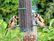 European Goldfinchs on a garden bird feeder in the United Kingdom.