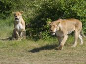 Lionesses, Masai Mara, Kenya