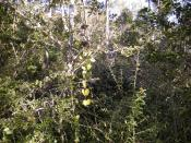 English: Dry rainforest, Mount Archer National Park, Rockhampton, Queensland.