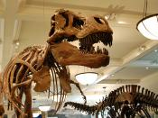 English: Mounted skeletons of Tyrannosaurus rex (left) and Apatosaurus excelsus (right) at the American Museum of Natural History in New York City.