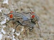 English: Sarcophaga carnaria flesh flies mating in Dar es Salaam.