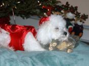 English: Maggie tired from watching her doggie parents wrap Christmas gifts!