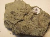Fossils found in Cincinnati, OH on Beechmont Ave. Possibly Sowerbyella rugosa Photo Credit: Linday Moeller, St. Ursula Academy