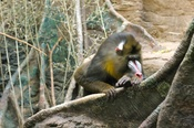 Male Mandrill in Franklin Park Zoo, Boston