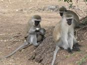 English: Vervet Monkeys in Samburu