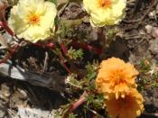 English: Moss rose or rose moss, Portulaca grandiflora, with flowers of two colors as a result of a mutation. The orange is probably the mutant, as it's closer to the purple wild type.