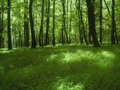 Zámčisko, young beech forest
