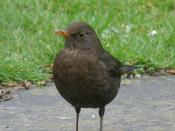 le merle / blackbird 3
