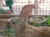 English: Bunny.