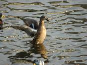 English: wild duck