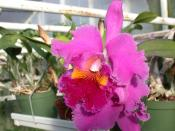 Brassolaeliocattleya Lucky Strike Golden Ring