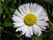 English: Daisy (Bellis perennis), Wellington, New Zealand