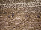 Wild Donkeys at Ruta Nacional 33 | Asnos Salvajes | 120713-5770-jikatu