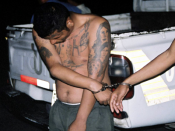 English: An MS-13 suspect bearing gang tattoos is handcuffed.