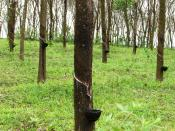 Large rubber plantations are generally seen along the Main Eastern Highway