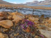 English: River Beauty flowers in foreground, with meltwater stream and Ekblaw Lake in background. Quttinirpaaq National Park. July 2011.