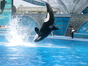 Orca at SeaWorld
