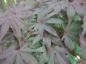 English: Japanese Maple Foliage