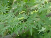 Species: Acer palmatum Family: Aceraceae Image No. 1