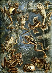 Colour plate from Ernst Haeckel's 1904 Kunstformen der Natur, depicting frog species that include two examples of parental care.