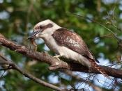 Wild Laughing Kookaburra with a frog in its beak at St Ives Village Green, suburban Sydney, Australia.