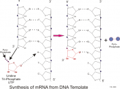 English: Adding nucleic acids to the RNA strand from a DNA template