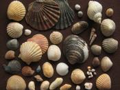 English: Seashells: marine bivalves and gastropods from Shell Island, a coastal peninsula south of Harlech Castle, in North Wales/ Great Britain. There we found about 25 different species out of 200 shells we picked up