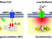 Excitotoxicity