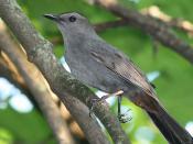 Gray Catbird-1